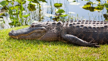 Huge alligator in Florida spotted swimming behind woman's home