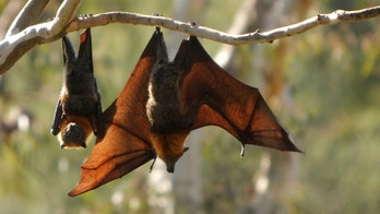New coronavirus found in bats is 'closest relative' to SARS-CoV-2 seen yet