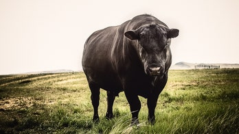 2,000-pound bull briefly escapes vet's office right before circumcision, report says