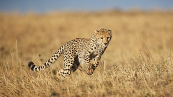 Man on safari captures terrifying moment when cheetah jumps into his open vehicle