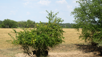 Drought takes toll on Missouri farmers' crops, cattle
