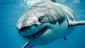 Great white shark caught in Rhode Island waters