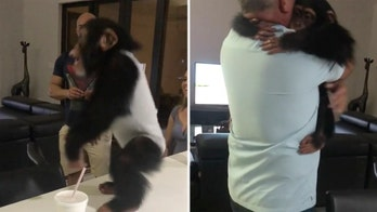 Chimp reunites with human foster parents in heartwarming viral video
