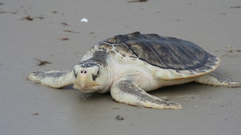 Florida beaches littered with dead sea turtles; scientists blame red tide