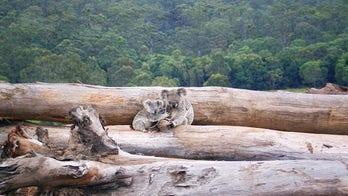 Shocking photo highlights koala habitat destruction in Australia