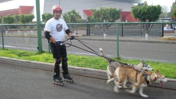 Urban Mushing: Dog Sled Sport Finds Warm Weather Fans