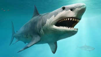 Megalodon shocker: Huge killer shark may have been wiped out by great whites