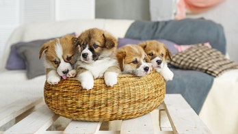Puppies linked to 'multidrug-resistant' infection, CDC says