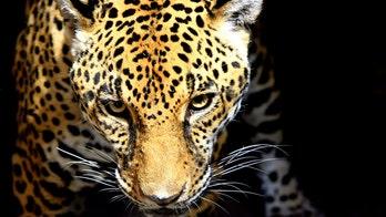 Jaguar injures man at Florida zoo