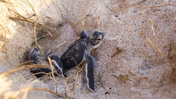 Sea turtle hatchlings: How bright lights, smartphones, lure baby turtles to their deaths