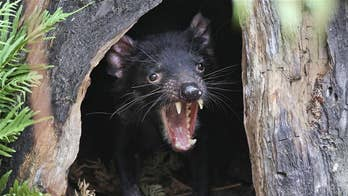 Superbugs no match for Tasmanian devil milk