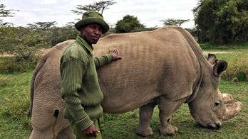 World's last male white rhino, dubbed 'Most Eligible Bachelor,' is dying