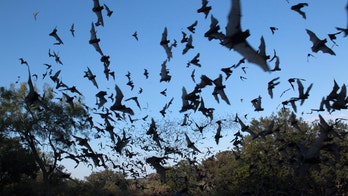 Scientists discover a sixth species of Ebola virus — in bats