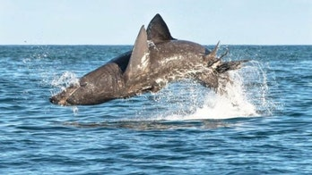 World's second-largest shark can jump just as high and as fast as great whites