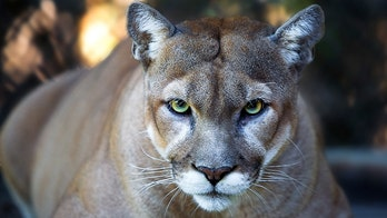 Firefighters rescue frightened cougar from tree: 'Just make sure he's asleep'