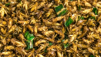 Eating crickets helps with gut health, study finds