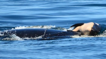 Orca that carried dead, decomposing calf for weeks now returns to fun with friends