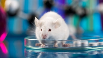 Alzheimer's pervasive plaque contained when key enzyme is removed in mice, study finds