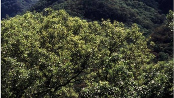 Global Warming Brings High Demand for Resilient Mexican Oak Tree