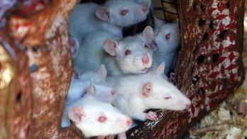 New York City mice carry life-threatening superbugs, viruses, study finds