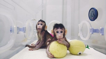 Meet the amazing cloned monkeys