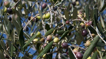 Don't get burned: How to spot fraudulent olive oil