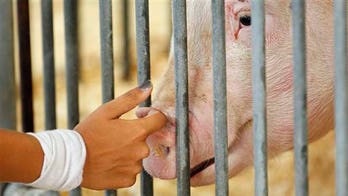 Swine flu found at Ohio county fair; hogs to be slaughtered