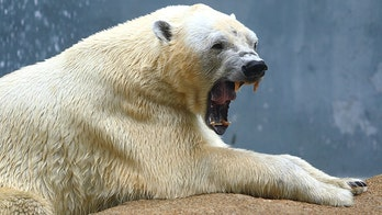Polar bear attack leaves hunter dead, two others injured in Canada