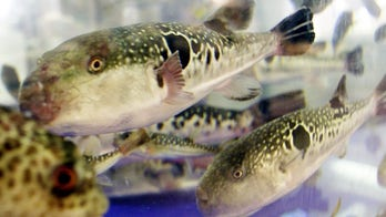 Deadly blowfish guts sold at grocery; Japanese city officials send emergency warning