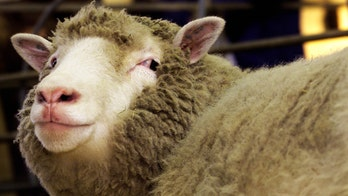 Dolly the sheep's clone 'sisters' are healthy in old age