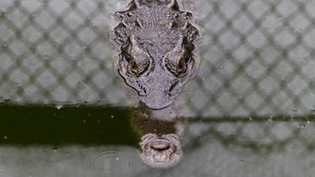 Rare crocodile killed while walking on Florida highway