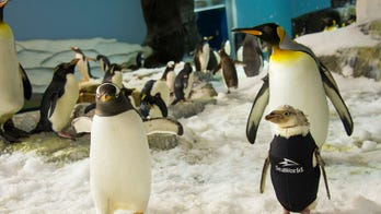 SeaWorld penguin sporting tiny, custom wetsuit after unexpected feather loss