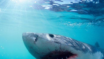 Sharks -- They're so much more than 'Jaws' (and they desperately need our help)