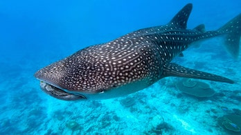 Whale sharks have eyes that are covered in teeth, researchers find