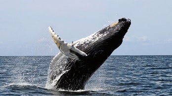Japan Suspends Whaling Hunt After Activist Harassment