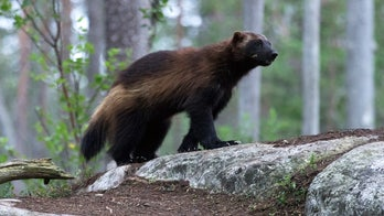 Caught on camera: Rare wolverine in Yellowstone National Park