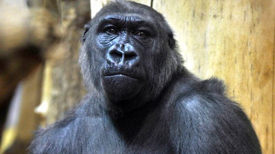 Nigerian investigators dismiss wild reports rogue gorilla ate $22G in cash at zoo, pin missing money on armed robbers