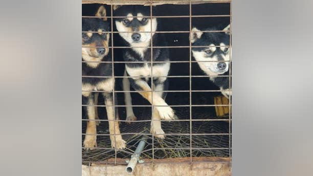 Caged dogs at the South Korean dog meat farm visited by US Olympian Gus Kenworthy.