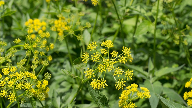 A group of wild parsnip plants.
