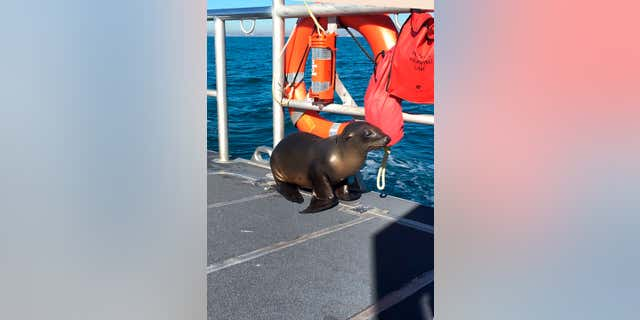 In this Saturday, Jan. 14, 2017 photo released by the U.S. Coast Guard Station Los Angeles, a sea lion hitches a ride on a US Coast Guard boat crew off the coast of Newport Beach, Calif.