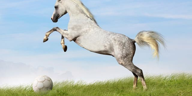 arabian stallion rears