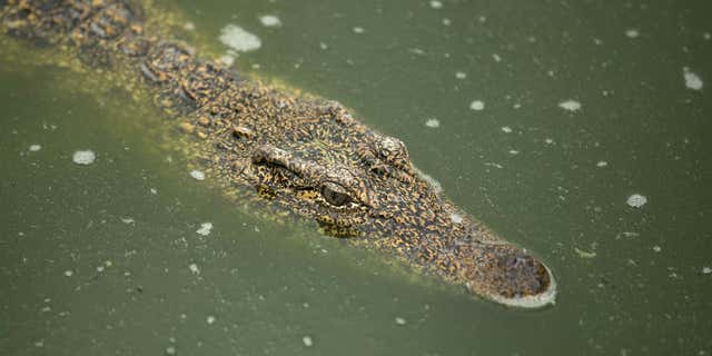 Woman's body found after Australian crocodile attack