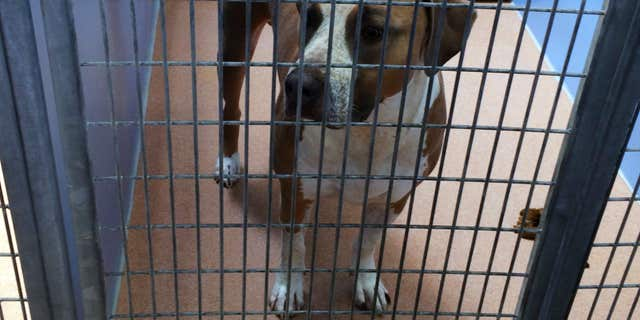 April 22, 2016: This photo provided by the San Diego County Department of Animal Services shows a male American Staffordshire terrier-mix named Polo, in their custody after it mauled to death a 3-day-old boy, police said .