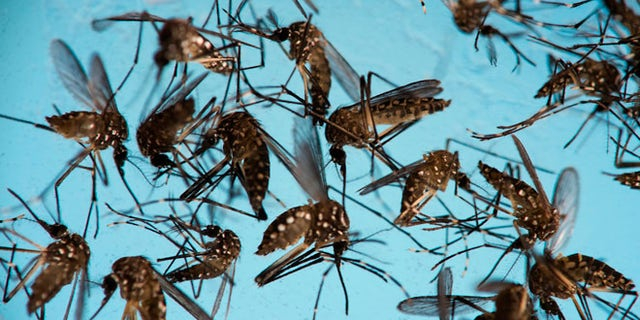 Aedes aegypti mosquitoes, responsible for transmitting Zika, in a petri dish at the Fiocruz Institute in Recife, Brazil.