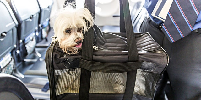 Small dog is sticking his head out of a pet carrier as the boards an airplane.  rm