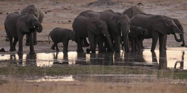 A big game hunter died Friday in Zimbabwe when a member of his hunting group fired their gun at an elephant striking it and causing it to fall on him.