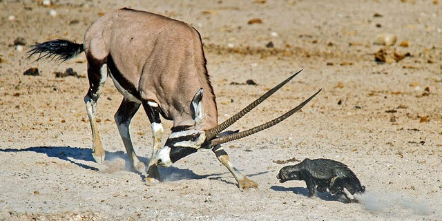 Pic Dirk Theron/Caters News - (Pictured: The oryx and honey badger square off against each other.) - A honey badger has been flung through the air after attempting to attack an oryx. Dirk Theron, 45, from Cape Town, South Africa, was visiting Etosha National Park, when he spotted the fighting pair.The photos show the honey badger attacking an oryx and despite being flung six metres into the air he refuses to give up and keeps on coming back for more.SEE CATERS COPY