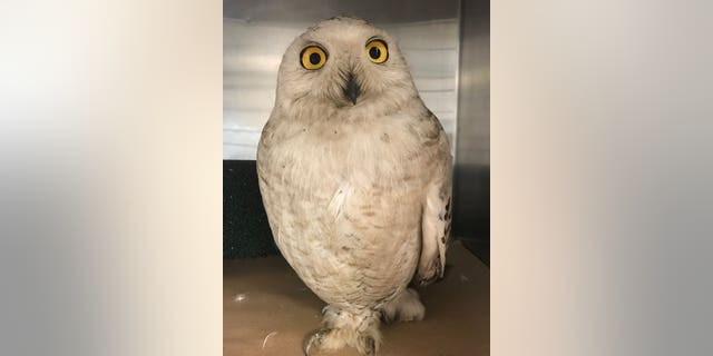 A snowy owl was discovered inside New York City's Rikers Island.