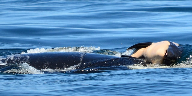 In this file photo taken Tuesday, July 24, 2018, provided by the Center for Whale Research, a baby orca whale is being pushed by her mother after being born off the Canada coast near Victoria, British Columbia