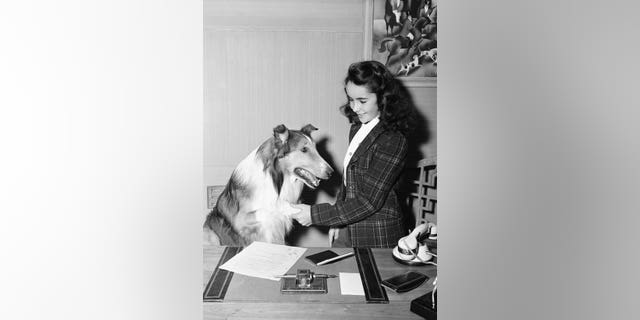 """Elizabeth Taylor in her appearance in 1943's """"Lassie Come Home."""""""
